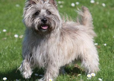 Pet portrait photography Dorset Cairn Terrier