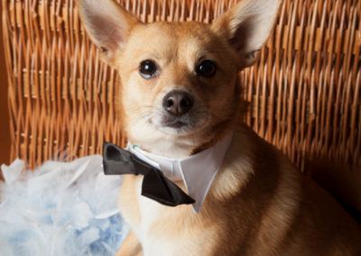 Pet photography Dorset bow tie